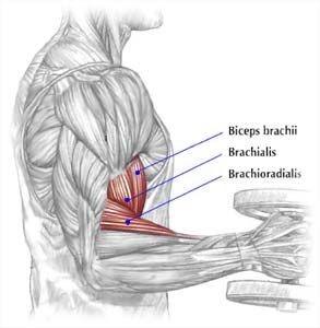 الهدم العضلي